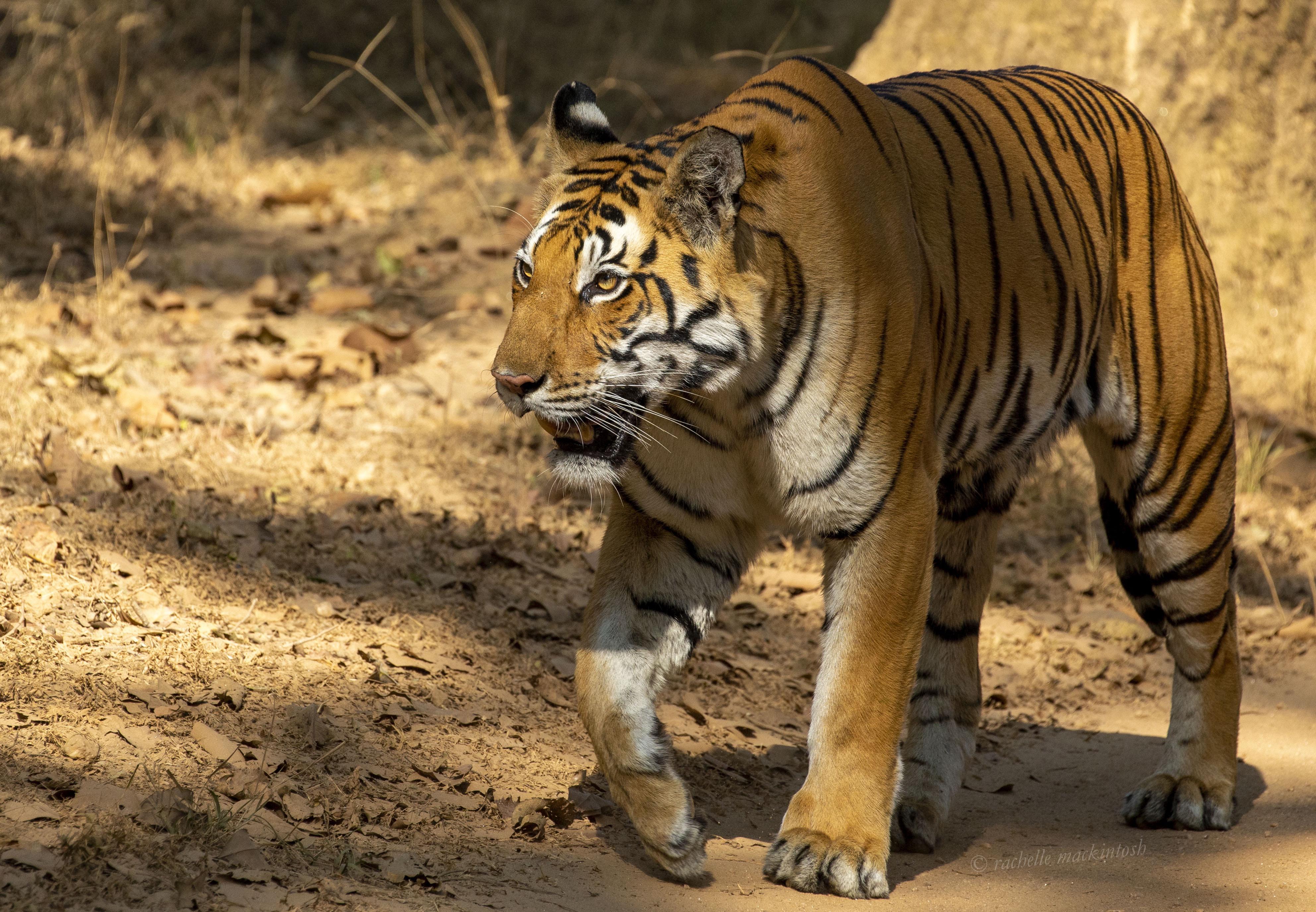 dhawajandi kanha national park india