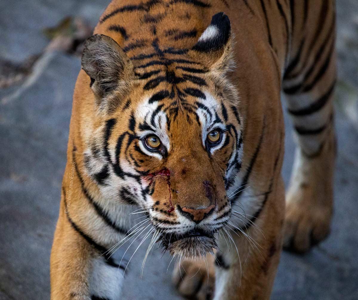 dhawajandi tiger kanha madhya pradesh india