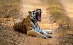 tigress yawning kanha national park india