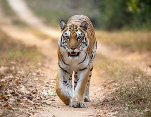 wild tigress india madhya pradesh front on