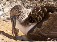 Freshly hatched blue-footed boobie