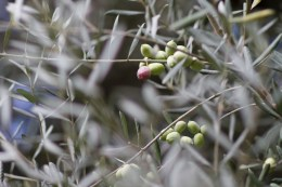 Olive tree on the way to Palatine Hill.