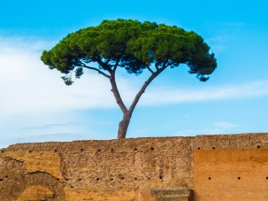 These trees surround the area at Palatine Hill
