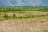 Rice pickers near Saint Marc.