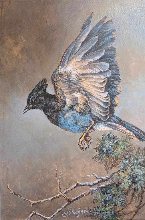 Stellar Jay by Pam Stoehsler