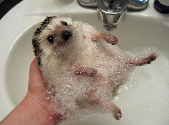 adorable, bath, bubbles, cute, hedgehog