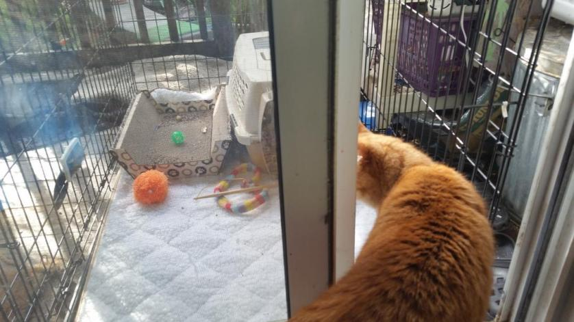 ornjy cat stepping out into his new indoor outdoor extension as new indoor dat