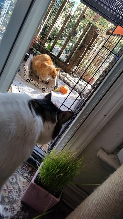 zack-watching-ornji-in-extension-while-eating-cat-grass