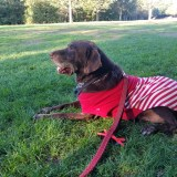 Hershey Dog Suffers Reversal after Thriving Four Months After Being Given Only Day(s) to Live