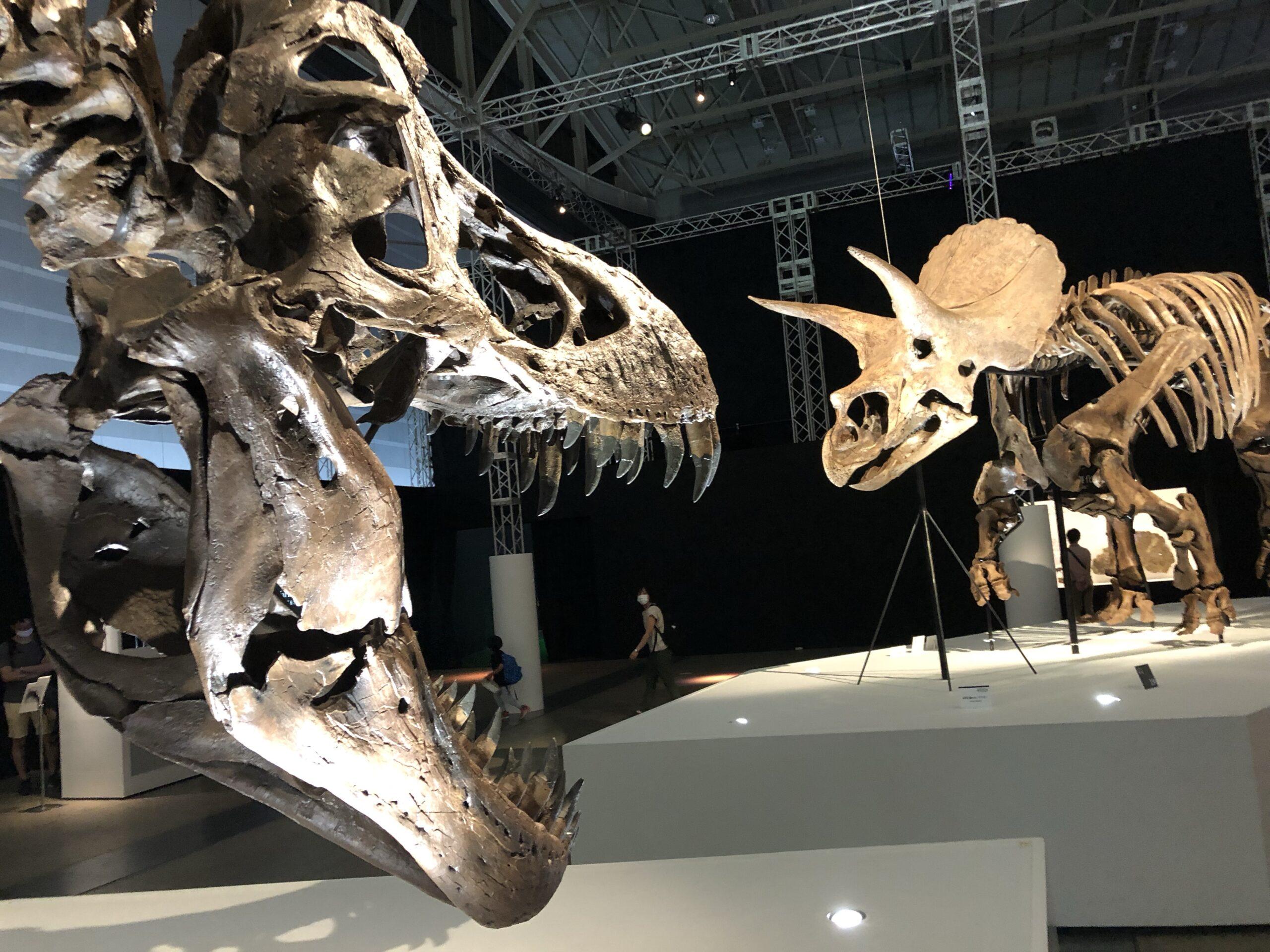 トリケラトプス奇跡の化石「レイン」ついに日本へ!恐竜科学博@横浜