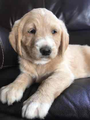 fawn-river-kennels-puppy-gallery-30