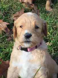 fawn-river-kennels-puppy-gallery-32