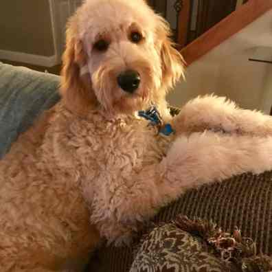 goldendoodle-goshen-IN3