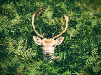 Deer in Foliage