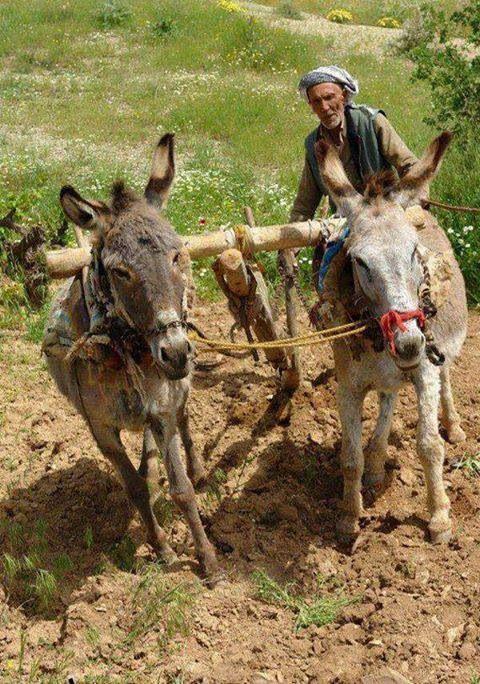 Donkey plough