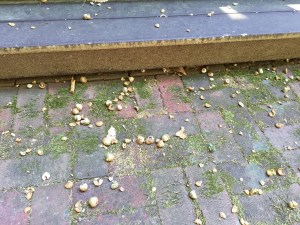 Acorn Drop on Patio Photo by Faye