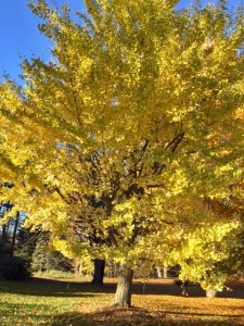 Sun-splayed tree, 2016