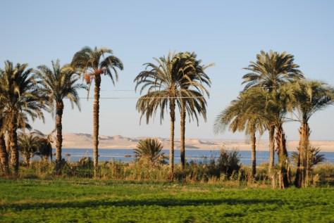 Fayoum palms