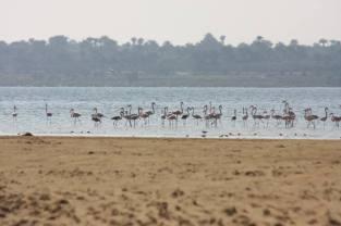 Flamingo_Fayoum_Egypt (13)