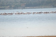 Flamingo_Fayoum_Egypt (24)