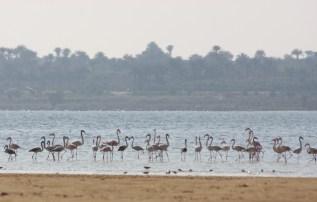 Flamingo_Fayoum_Egypt (27)