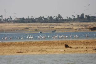Flamingo_Fayoum_Egypt (8)
