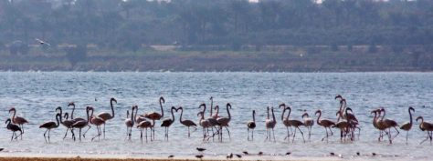 flamingo_fayoum_egypt-32