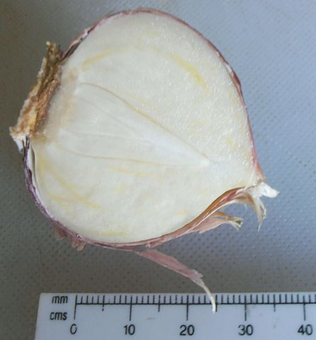 penampakan dalam bawang putih tunggal