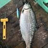平成30年4月22日 積丹沖サクラマス調査 あと少しで5kg!