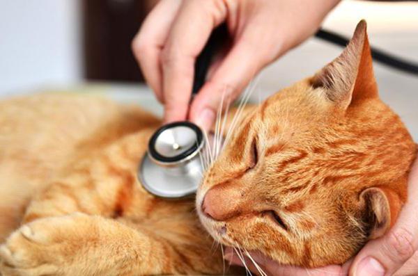 Как лечить гепатит у кошек