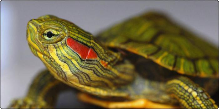 vörösfülű teknős hasán vörös foltok vannak)
