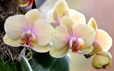 Родина комнатных орхидей, основные секреты ухода за ними. Родина орхидеи: где возник самый таинственный цветок? Орхидея родина растения необходимый состав почвы