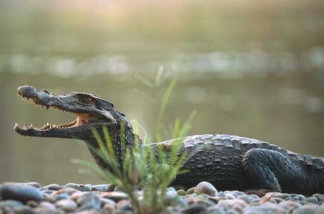 حيث يعيش التمساح في أي منطقة