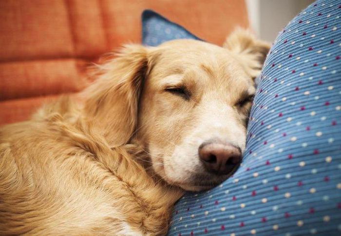 Дигоксин смертельная доза для собаки. Сердечная недостаточность у собаки: симптомы и лечение
