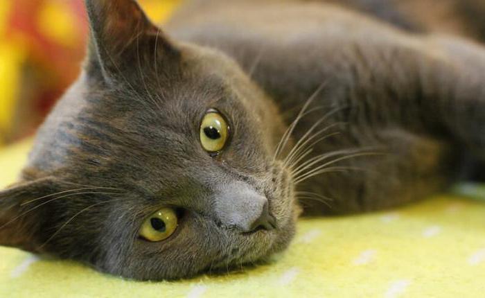 Анализ крови у кошек: расшифровка. Причины повышенной амилазы в крови у кошек Аст у кошек повышен