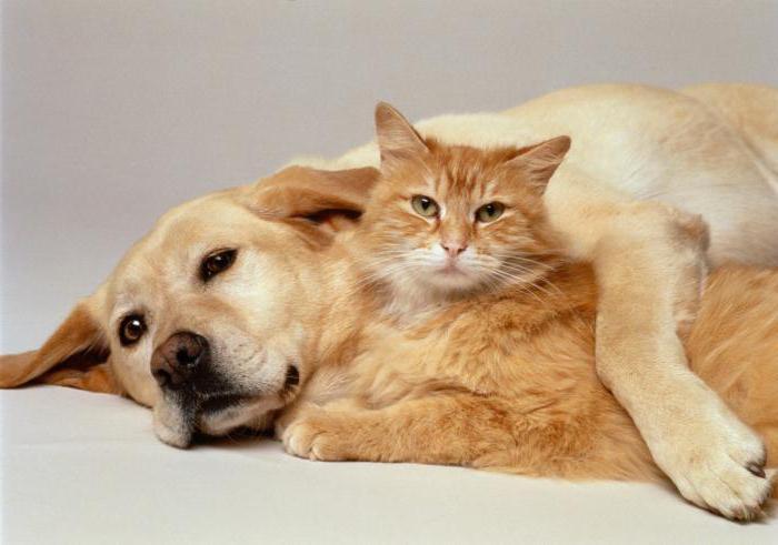 Ветеринарный препарат Амитразин когда и как его применять