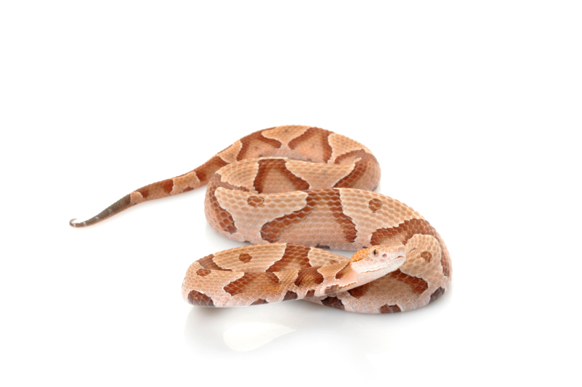 Copperheads curing cancer?