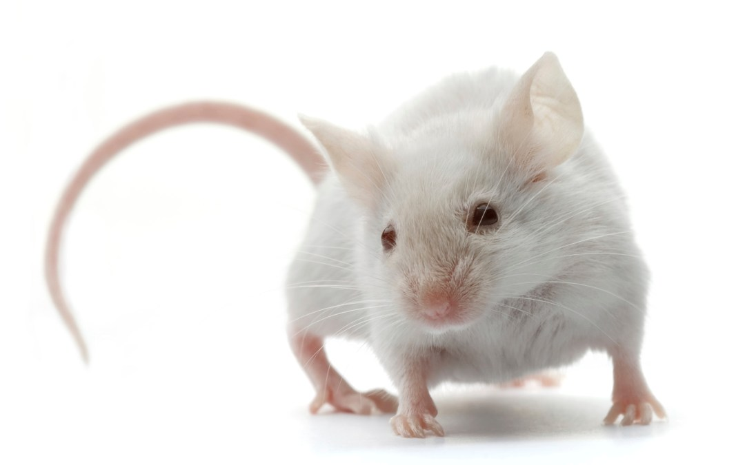 Mice Prove Quite Valuable as Human Disease Models