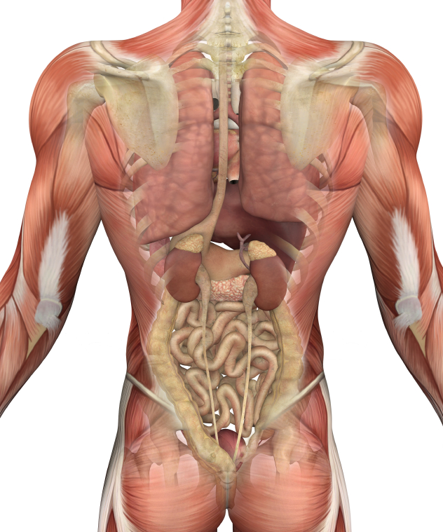 Male Torso With Muscles And Organs Back View Foundation For