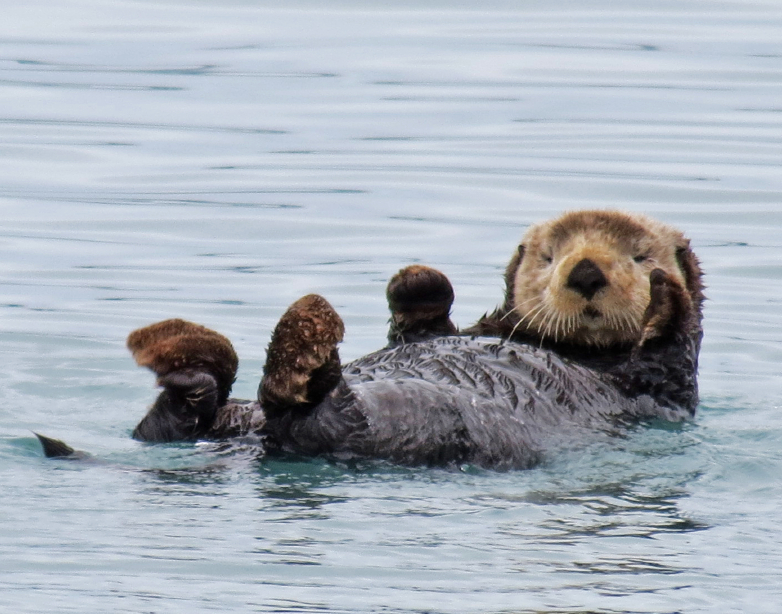 Sea otters helped by artificial clams