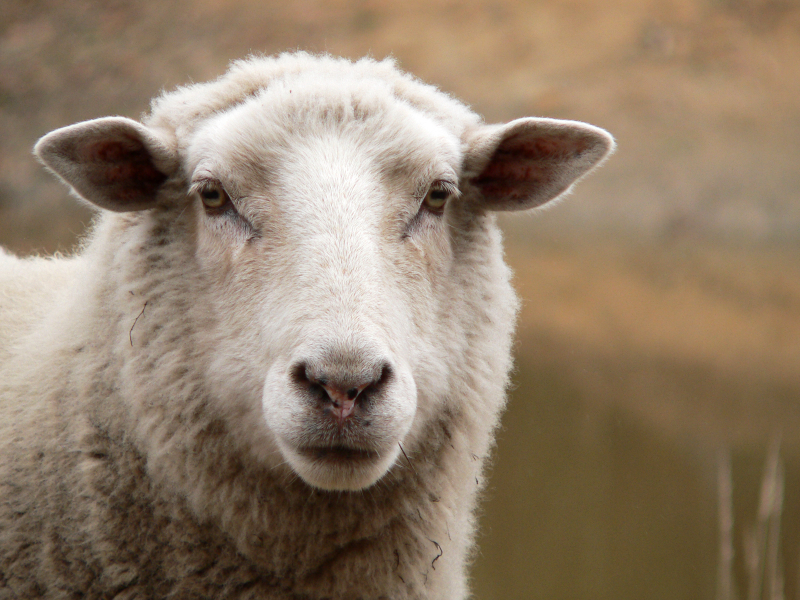 Sheep help in search for new asthma rescue agent