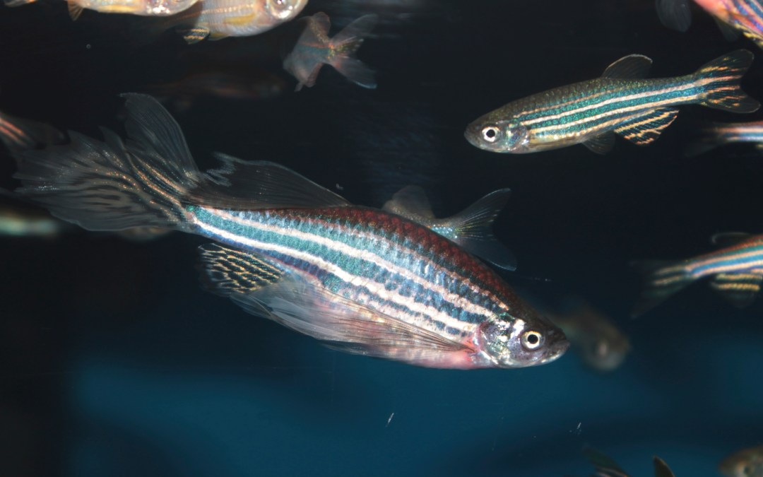 Zebrafish: An indicator of water pollution?