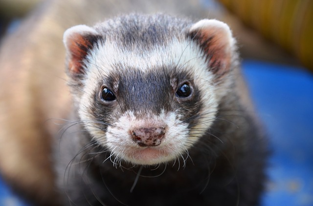 Ferrets could help researchers understand the flu!