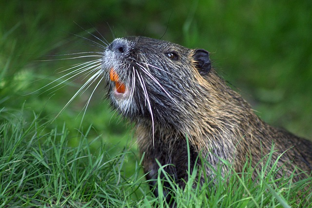Beaver teeth: What can their enamel do for you?