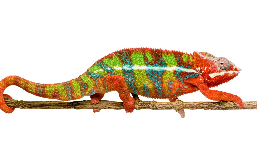 Chameleon color change: finally understood!