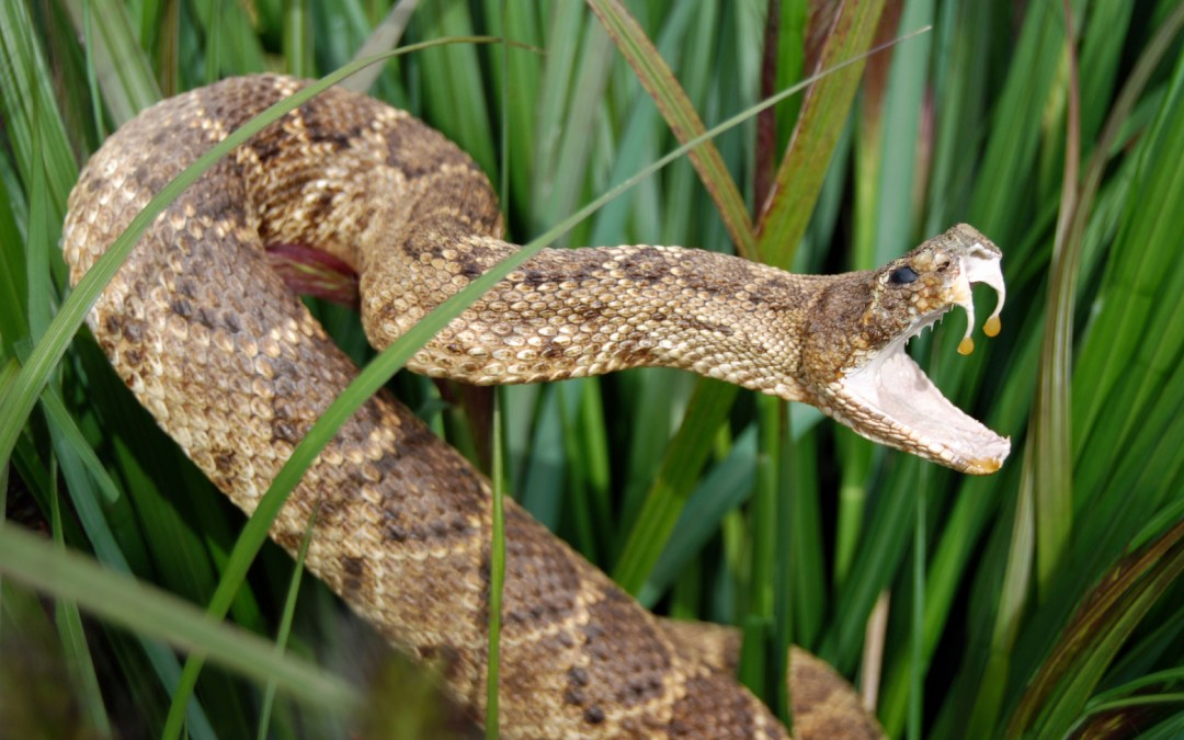 Venomous snakes are saving human lives