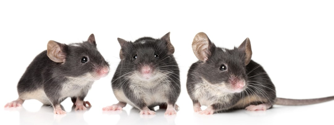 Antioxidants Help Mice and Humans for Better Science and Treatments!