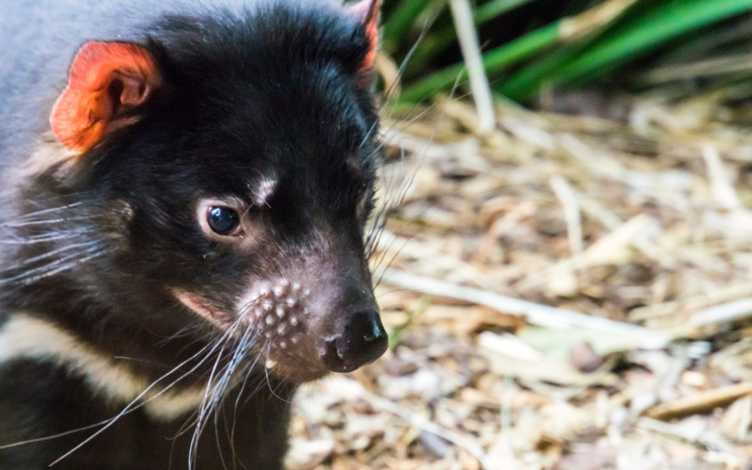 Tasmanian devils: saved by mice?