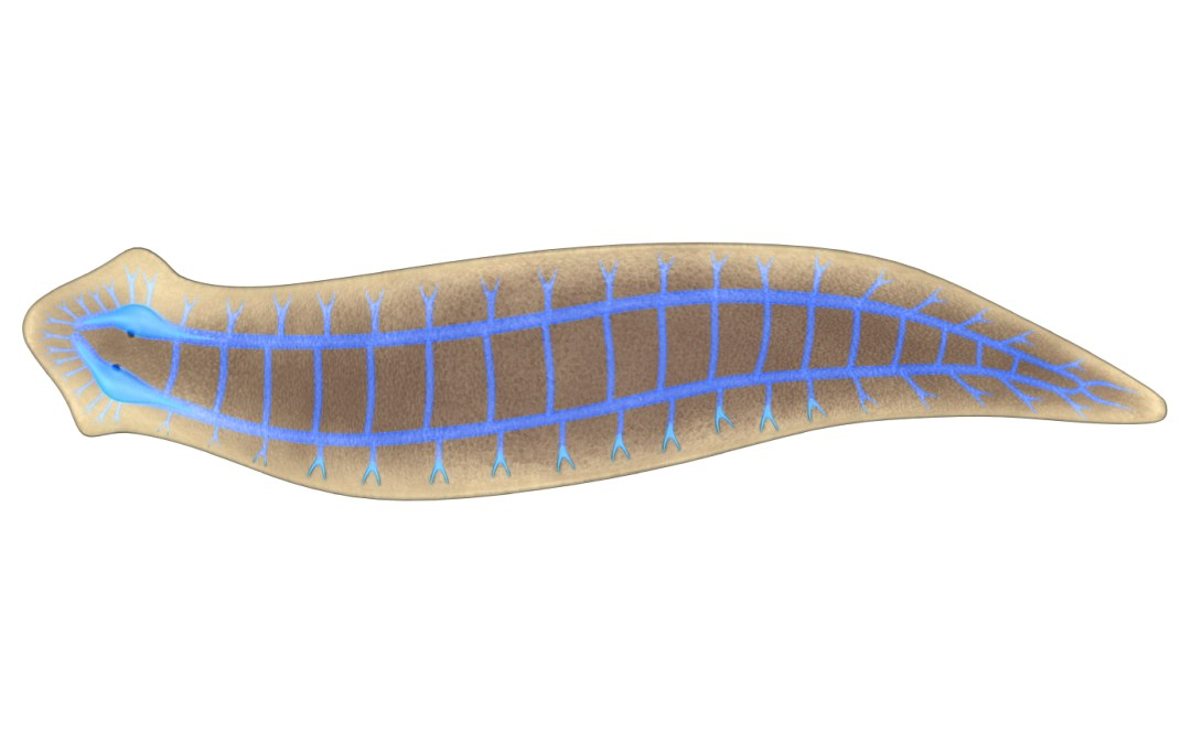 Flatworms are saving lives
