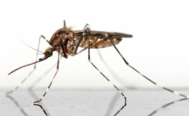 Genetically modified mosquitoes to fight dengue fever